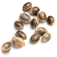 https://flashseedsbank.com/wp-content/uploads/2018/12/marijuana_seeds_white-2.png